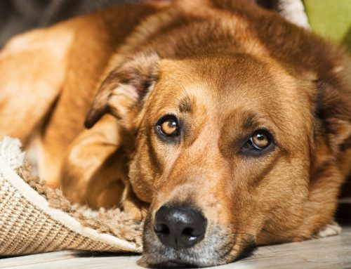 Perilous Pancreatitis in Pets